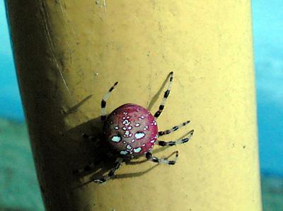 人面蜘蛛?!