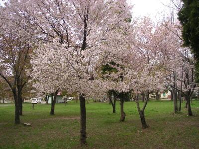 200505_sakura1